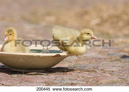 "Stock Image of ""Domestic Goose. Gosling swimming in a dish."
