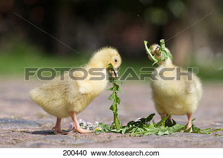 Stock Photography of Domestic Goose. Goslings eating Dandelion.