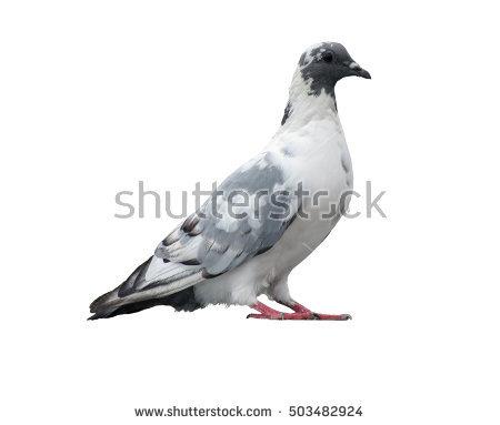 Domestic Pigeon Banco de Imagens, Fotos e Vetores livres de.