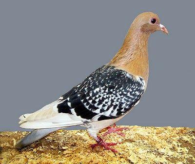 Domestic pigeons clipart #14
