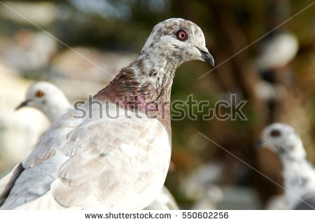 Domestic Pigeon Stock Photos, Royalty.