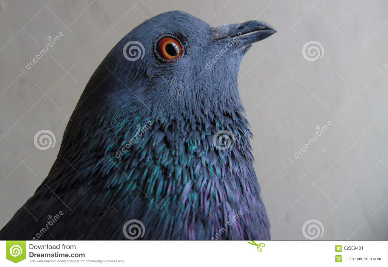 A Domestic Pigeon Stock Photo.