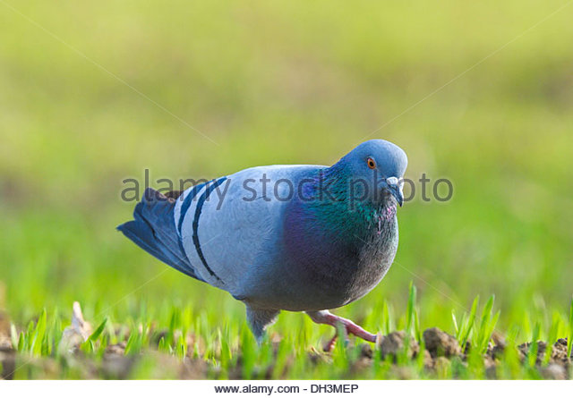 Domestic Pigeon Animal Stock Photos & Domestic Pigeon Animal Stock.