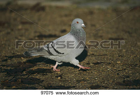 Stock Image of Domestic pigeon.