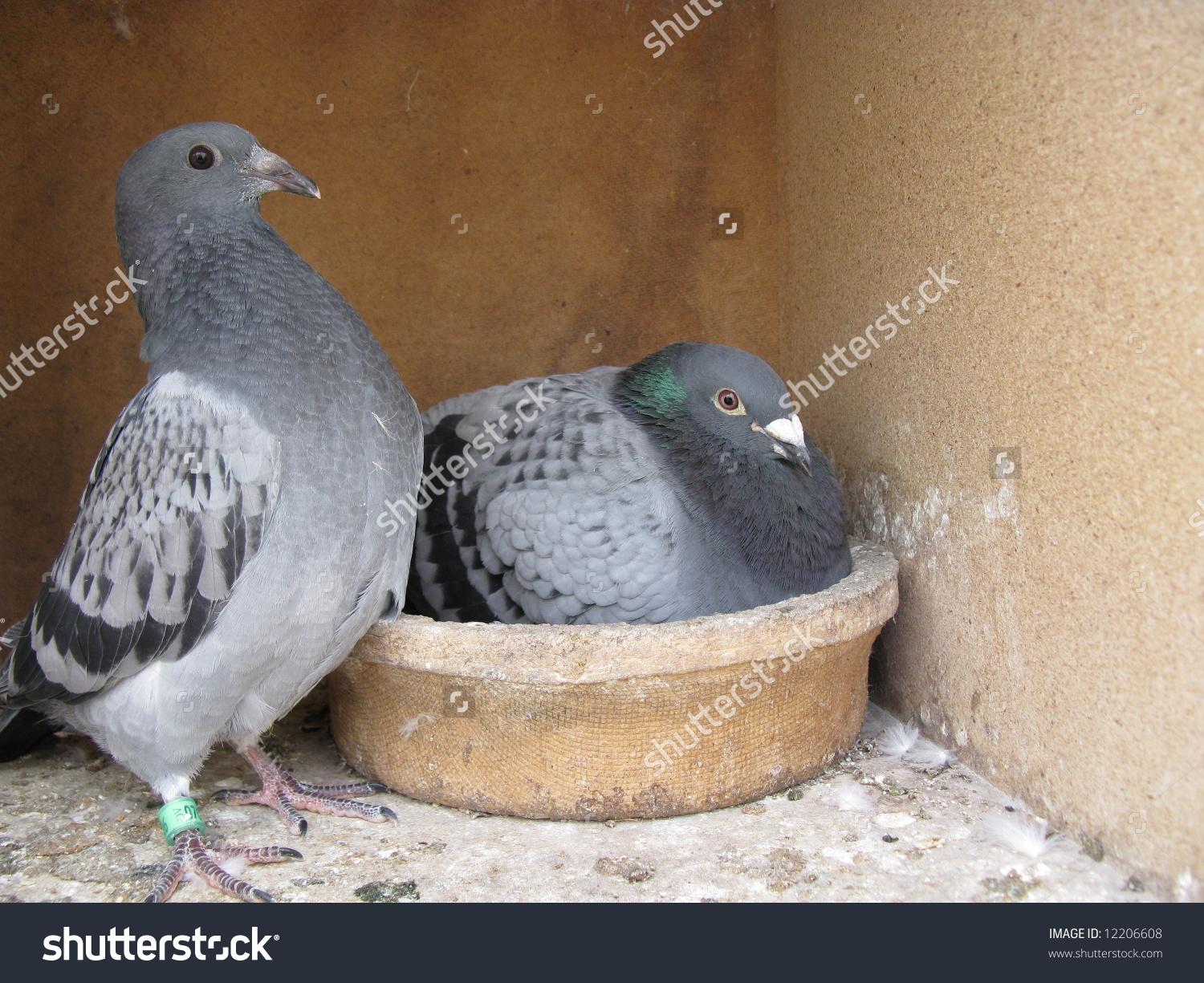 Brood Carrier Pigeons Homing Pigeon Variety Stock Photo 12206608.