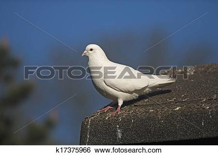 Stock Images of Domestic pigeon, Columba livia k17375966.