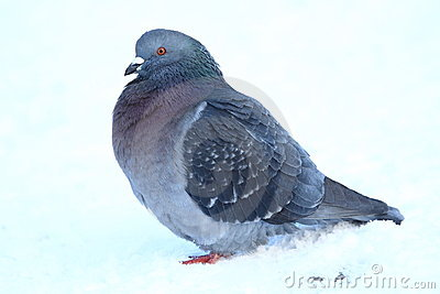 Domestic Pigeon Stock Photo.
