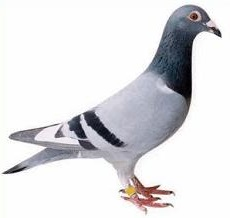 Free Pigeon Clipart.