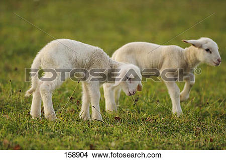 Stock Photo of Domestic sheep.