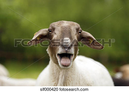 Bleating sheep clipart.