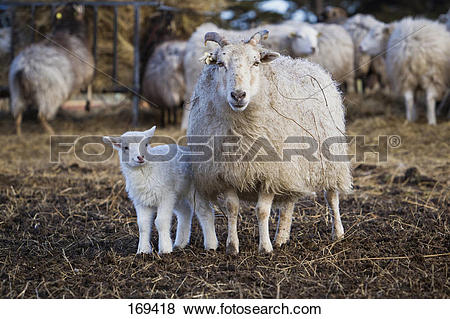 Pictures of Domestic Sheep (Ovis orientalis aries, Ovis ammon.