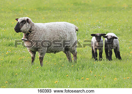 Stock Photo of domestic sheep with two lambs on meadow 160393.
