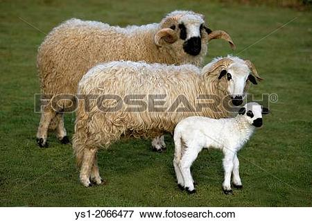 Picture of Thones and Marthod Domestic Sheep, Ram, Ewe and Lamb.