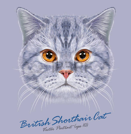 143 British Shorthair Cliparts, Stock Vector And Royalty Free.