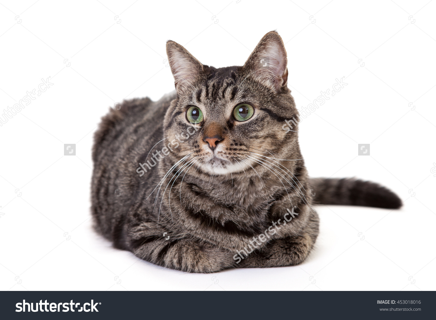 Grey Striped Domestic Shorthair Tabby Cat Stock Photo 453018016.