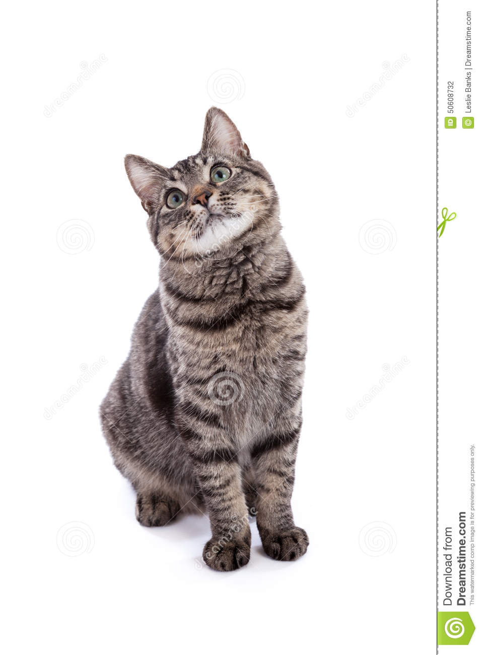 Domestic Shorthair Cat Portrait Stock Photo.