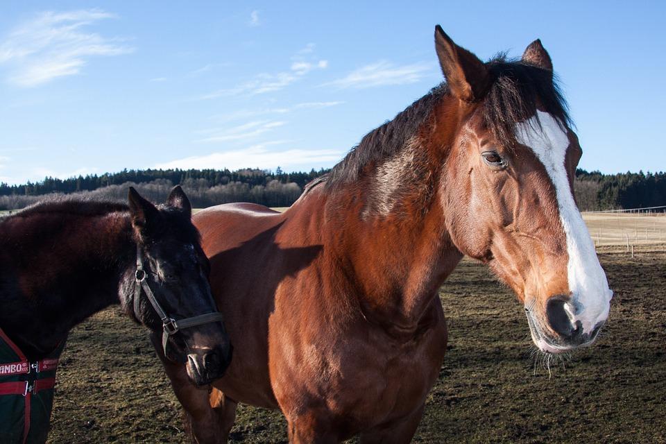 Free photo Horses Animals Mammal Domestic Solipeds.