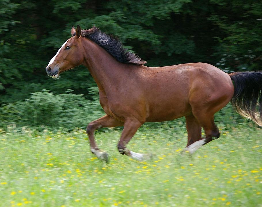 Free photo: Horse, Gallop, Animal.