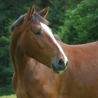 Horse, domestic Photo.