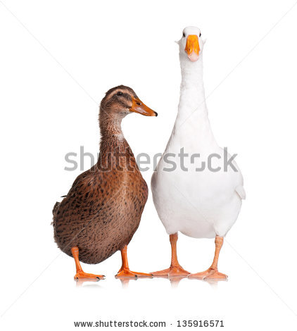 Domestic animal duck free stock photos download (5,361 Free stock.
