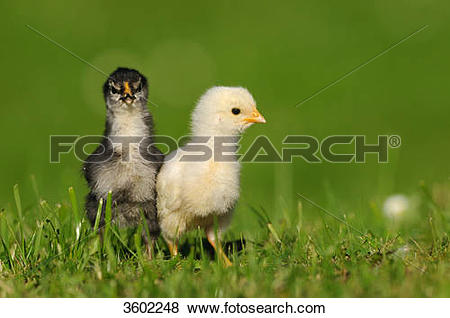 Pictures of Two chicks, barn fowl, Gallus gallus domesticus.
