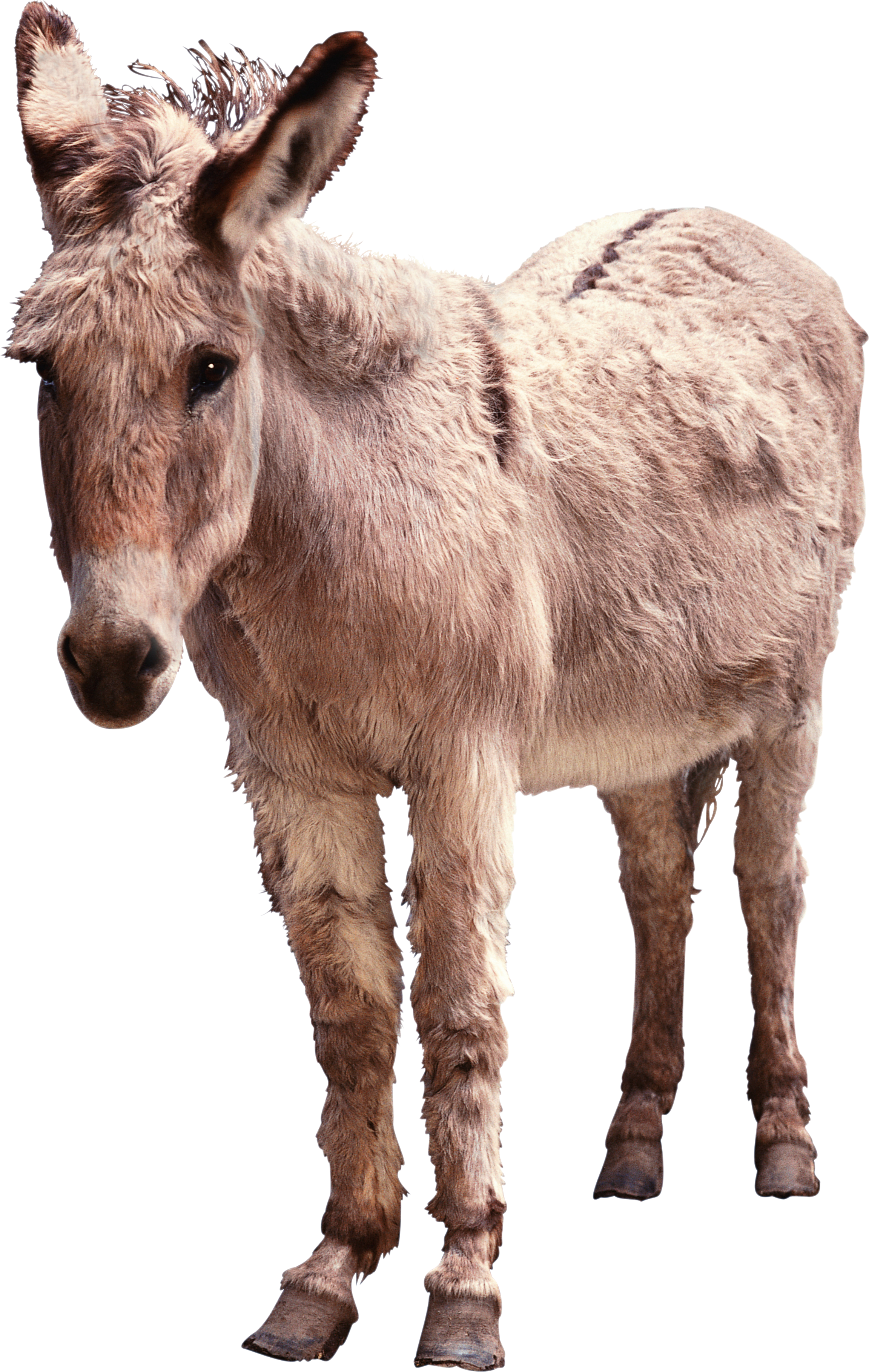 Donkey PNG images free download.