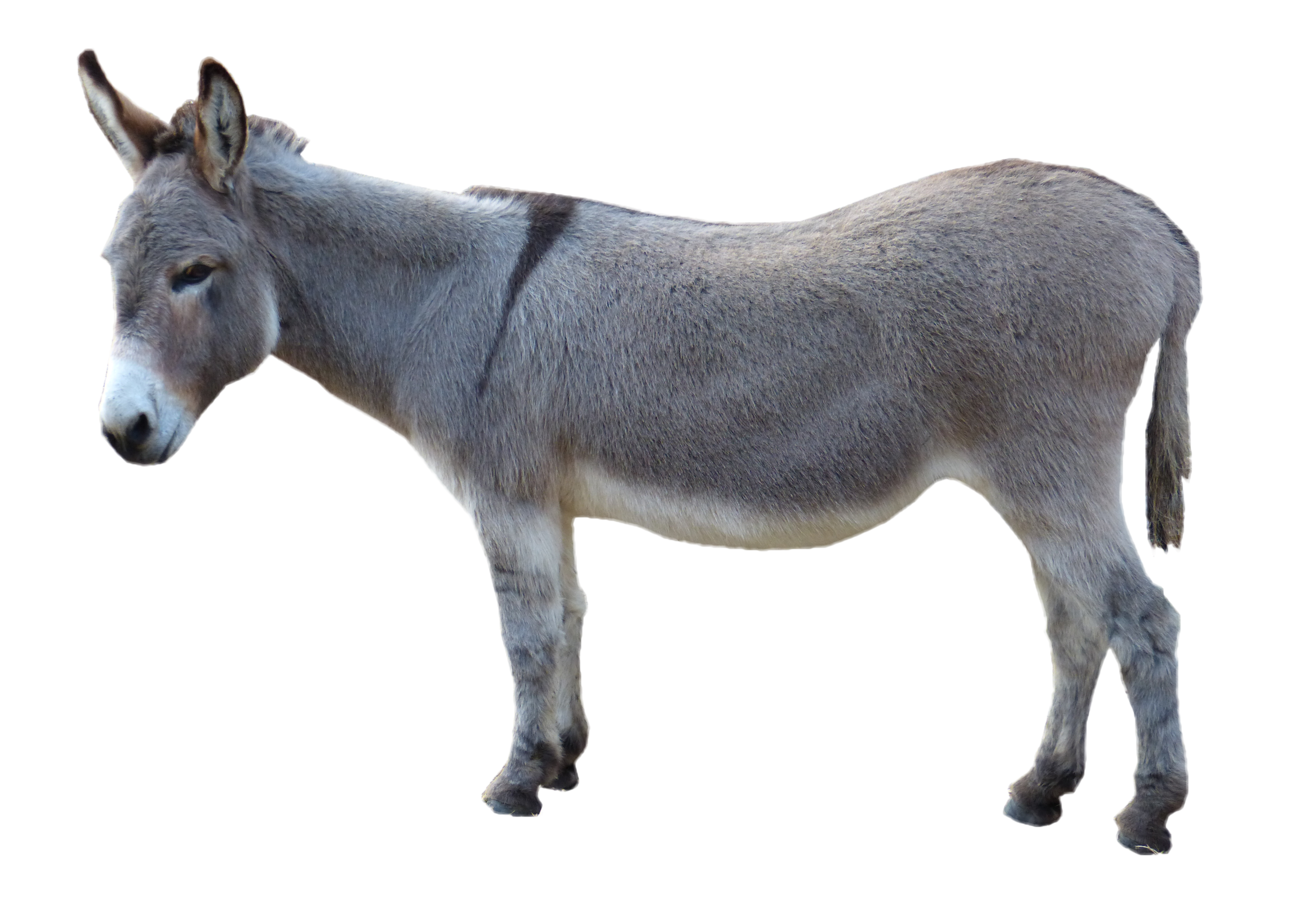 Grey Donkey Standing PNG Image.