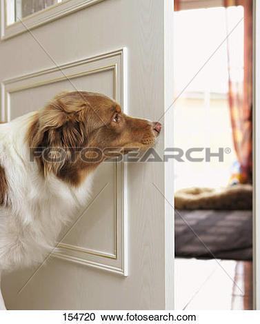 Stock Photography of Australian Shepherd dog.