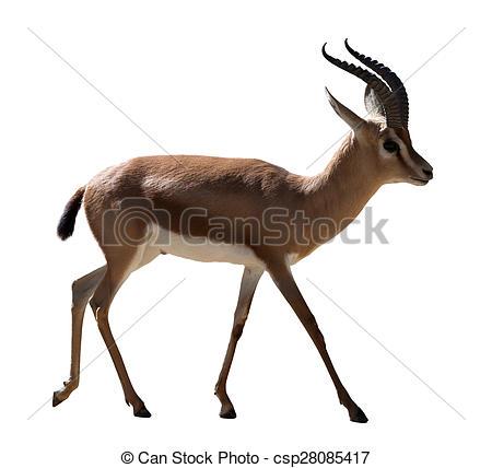 Stock Photography of full length of Dorcas gazelle on white.