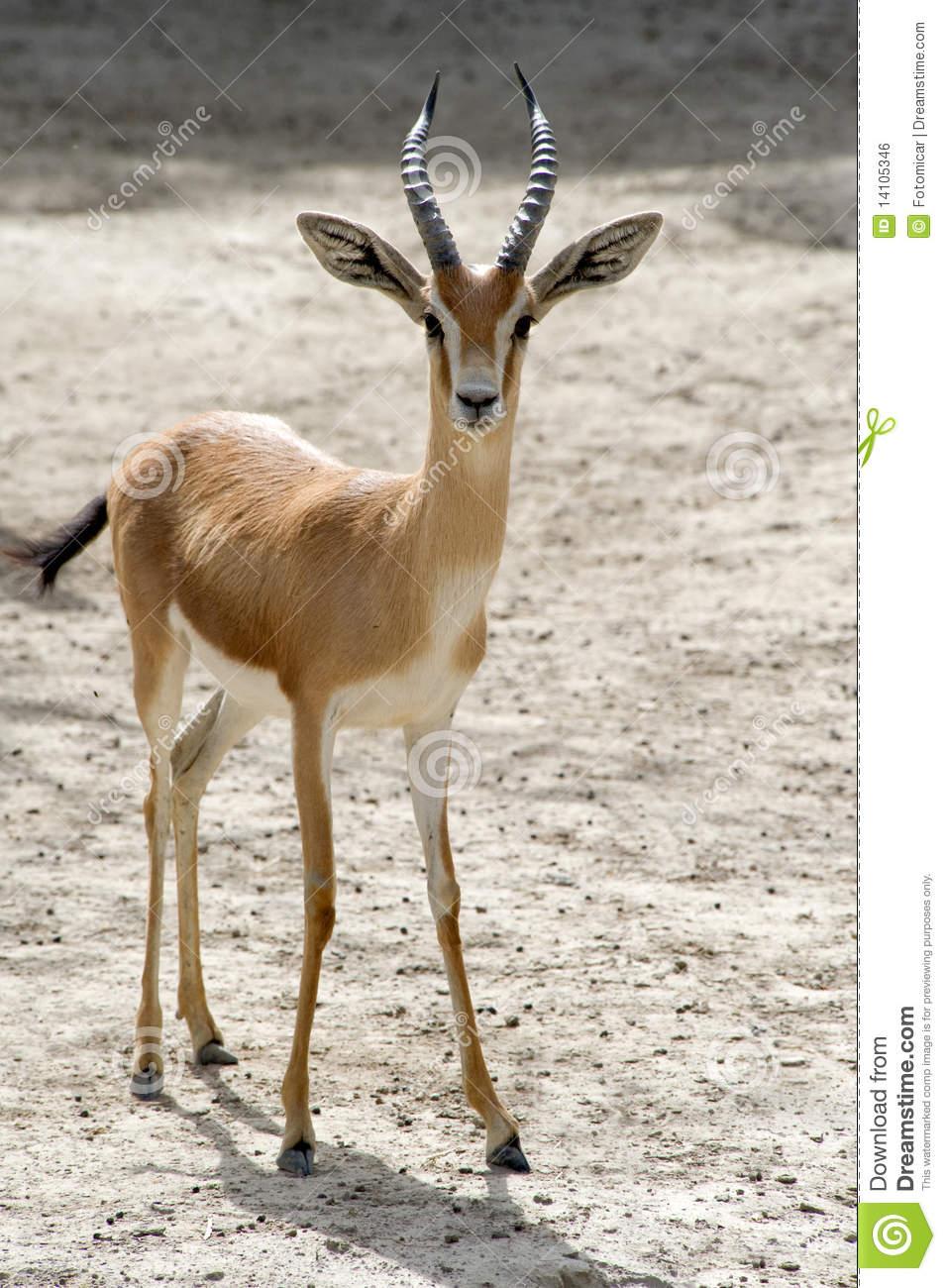 Dorcas Gazelle Royalty Free Stock Image.