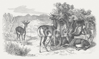 Dorcas Gazelles stock vectors.