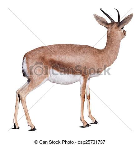 Stock Photos of Dorcas gazelle over white.