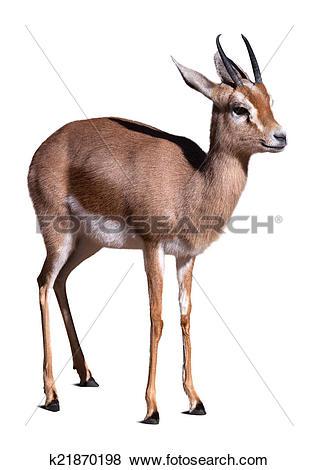 Pictures of Dorcas gazelle. k21870198.