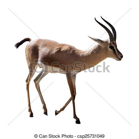 Stock Photo of Dorcas gazelle on white.