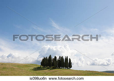 Stock Photo of Cypress trees in field, Val d'Orcia, Italy.