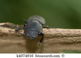 Dorcus parallelipipedus Stock Photo Images. 14 dorcus.