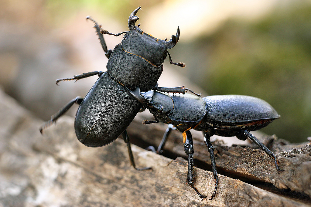 Lesser Stag Beetle / Ciołek Matowy / Dorcus Parallelipiped….