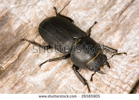 Lesser Stag Beetle Stock Photos, Royalty.