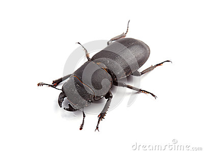 Lesser Stag Beetle (Dorcus Parallelipipedus) On White Royalty Free.
