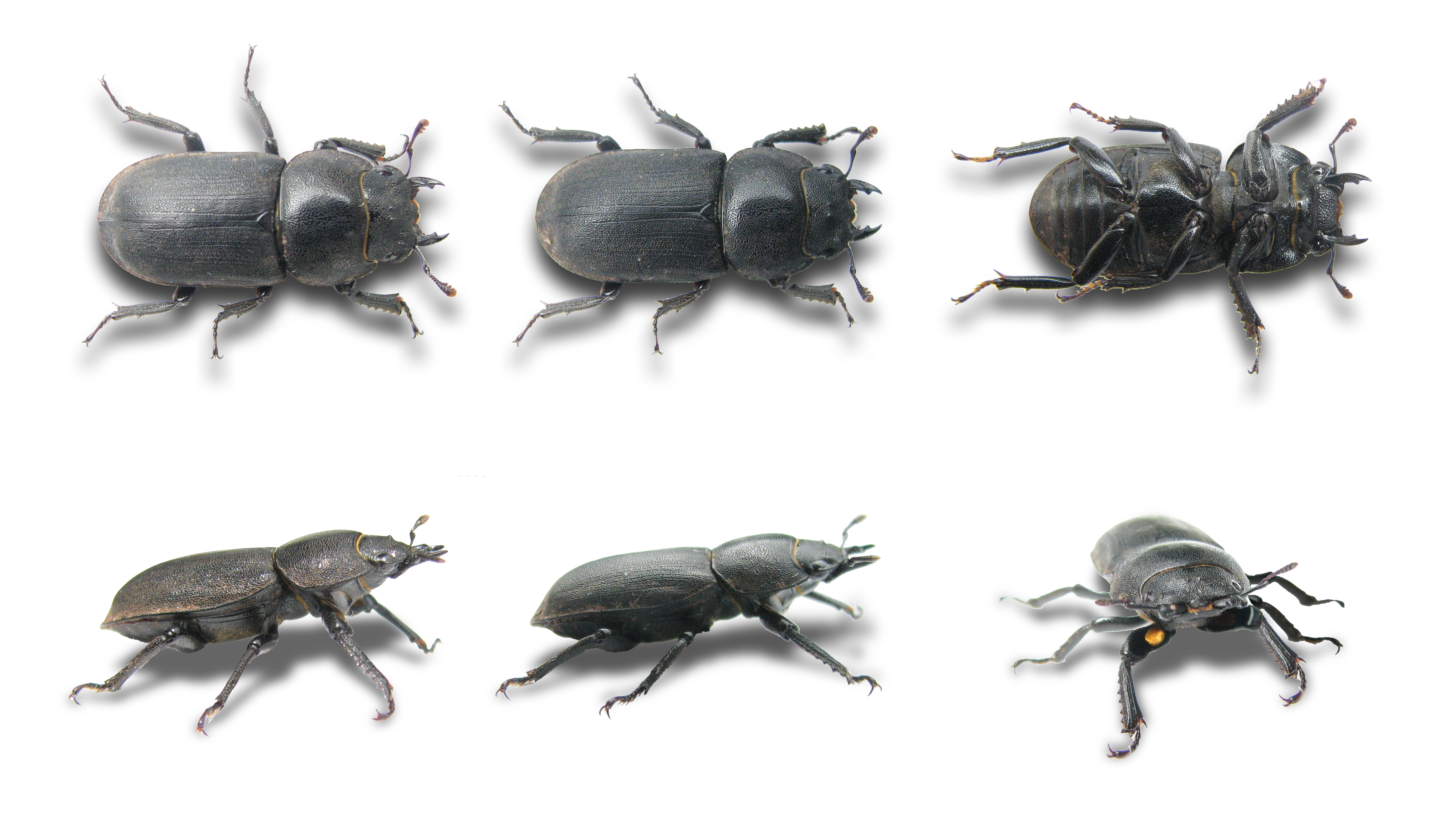 File:Dorcus parallelipipedus 6views.png.