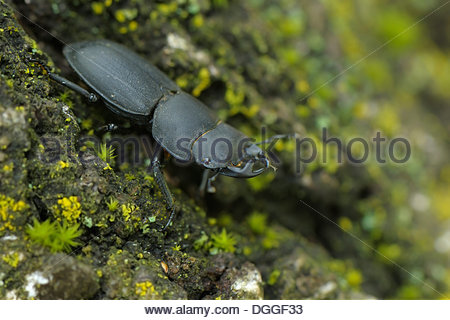 Stag Beetle Stock Photos & Stag Beetle Stock Images.