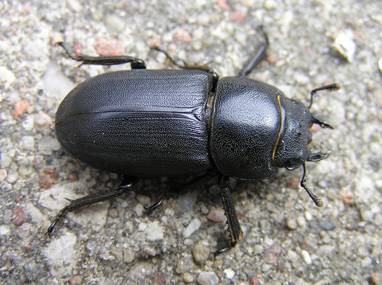 Dorcus parallelipipedus.