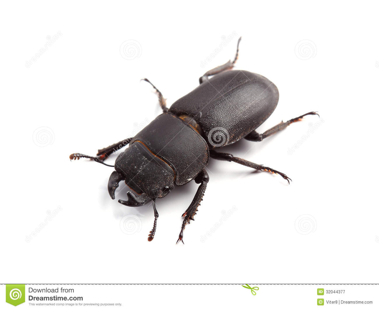 Stag Beetle Male, Dorcus Parallelipipedus Stock Photo.