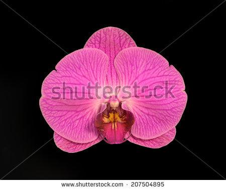 Orchid Doritaenopsis Stock Photos, Royalty.