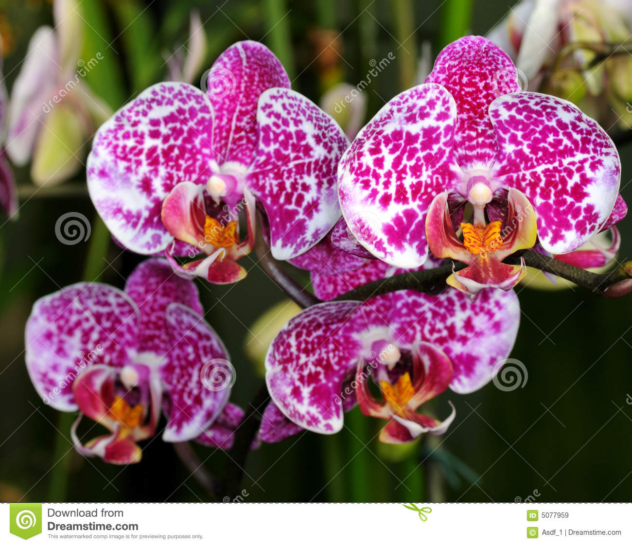 Orchid Doritaenopsis Royalty Free Stock Images.