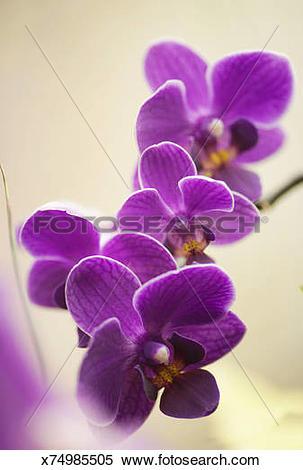Stock Image of Doritaenopsis Sogo Berry 'Little Princess.