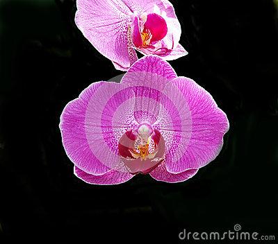 Orchid Doritaenopsis Royalty Free Stock Photo.