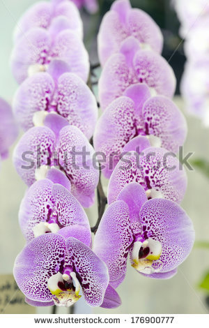 Doritaenopsis Stock Photos, Royalty.
