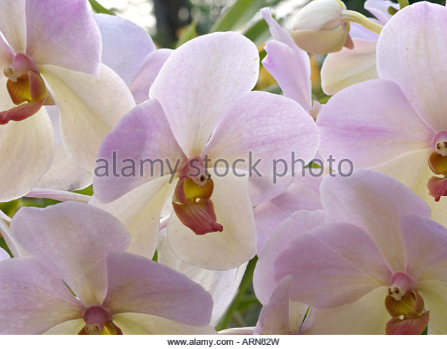 Orchid Orchidaceae Orchids Vanda Stock Photos & Orchid Orchidaceae.