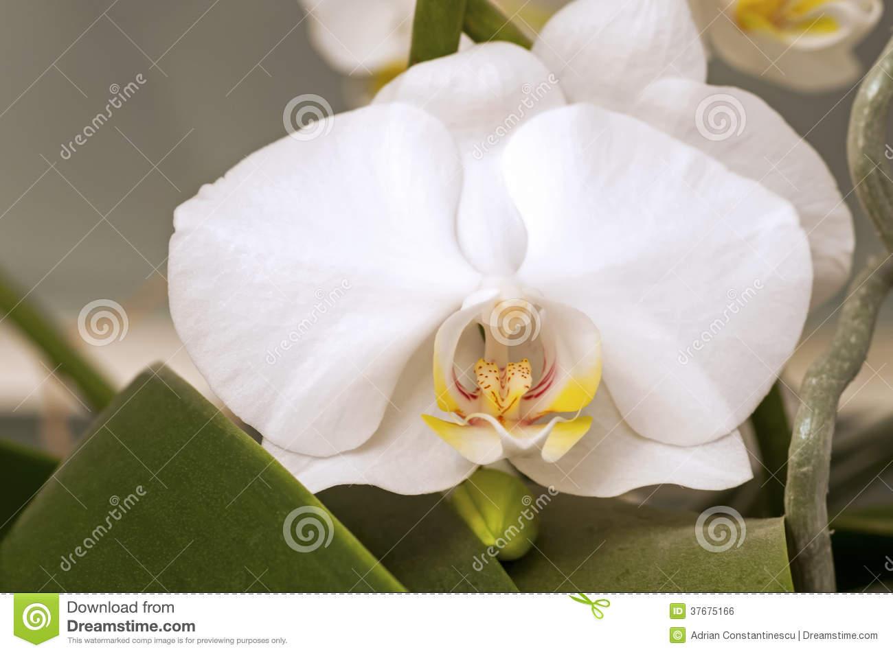 White Doritaenopsis Orchid Flower Royalty Free Stock Image.